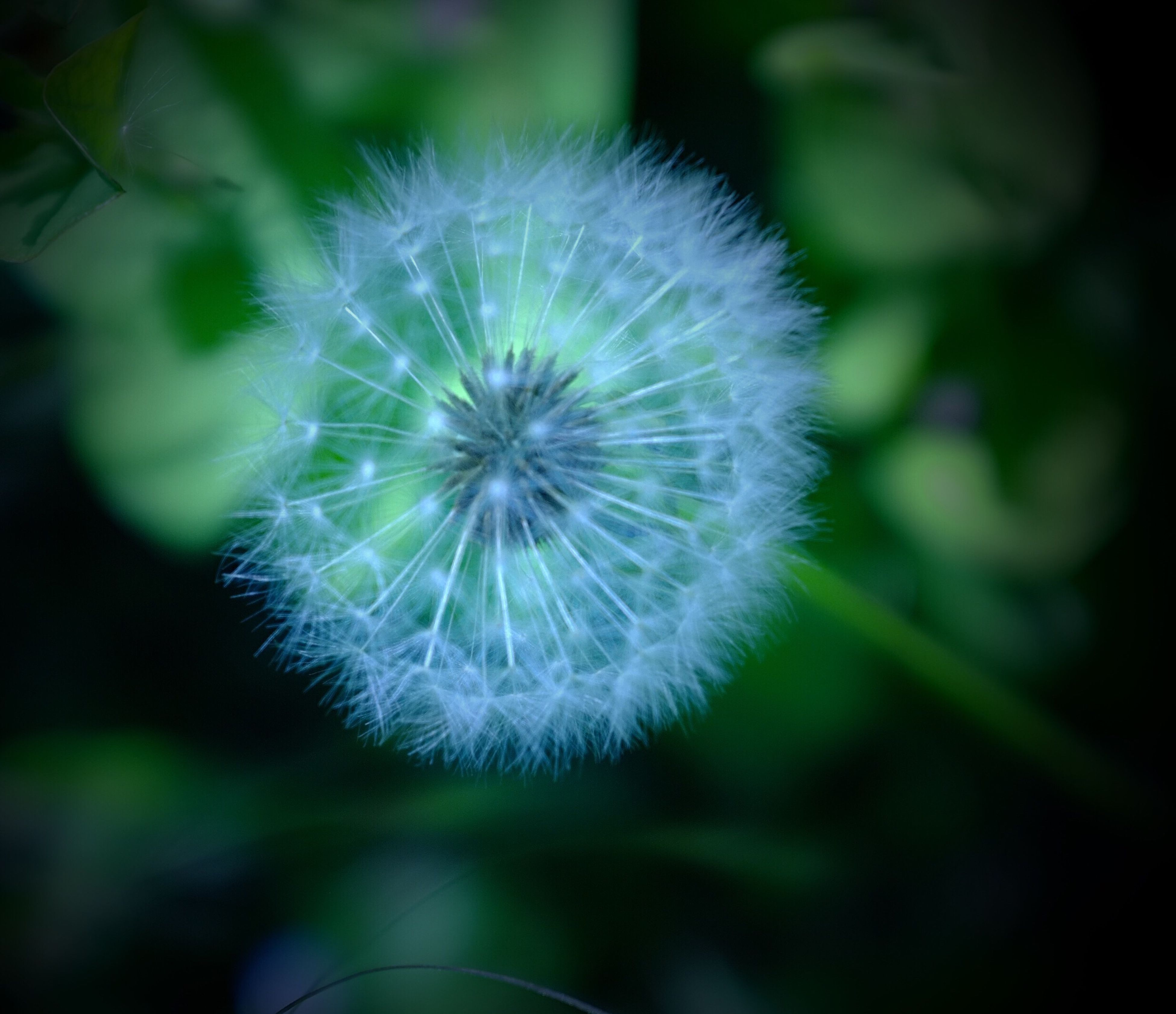 dandelion, flower, fragility, freshness, growth, flower head, close-up, focus on foreground, beauty in nature, single flower, nature, softness, white color, stem, uncultivated, wildflower, dandelion seed, plant, selective focus, in bloom