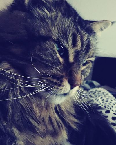 Mainecoon Domestic Cat One Animal Pets Domestic Animals Animal Themes Whisker Mammal Feline Close-up Indoors  No People Portrait Day