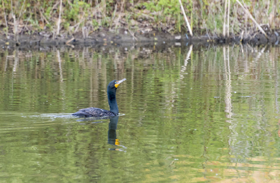Double-crested cormorant bird in urban Toronto park. Animal Beauty In Nature Bird Birdwatching Cormorant  Day Double-crested Double-crested Cormorant Lake Nature Outdoors Park Pond Reflection Tranquility Urban Water Wild Wildlife
