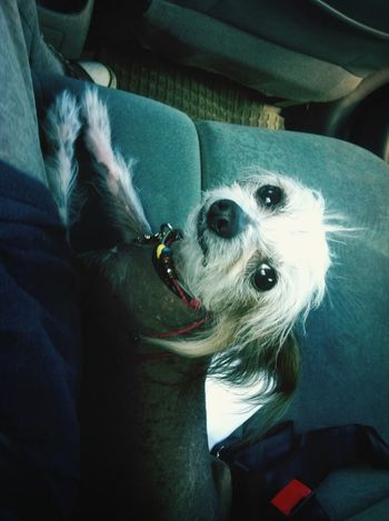 She loves riding in the car :) Chinese Crested Dog I Love My Dog <3