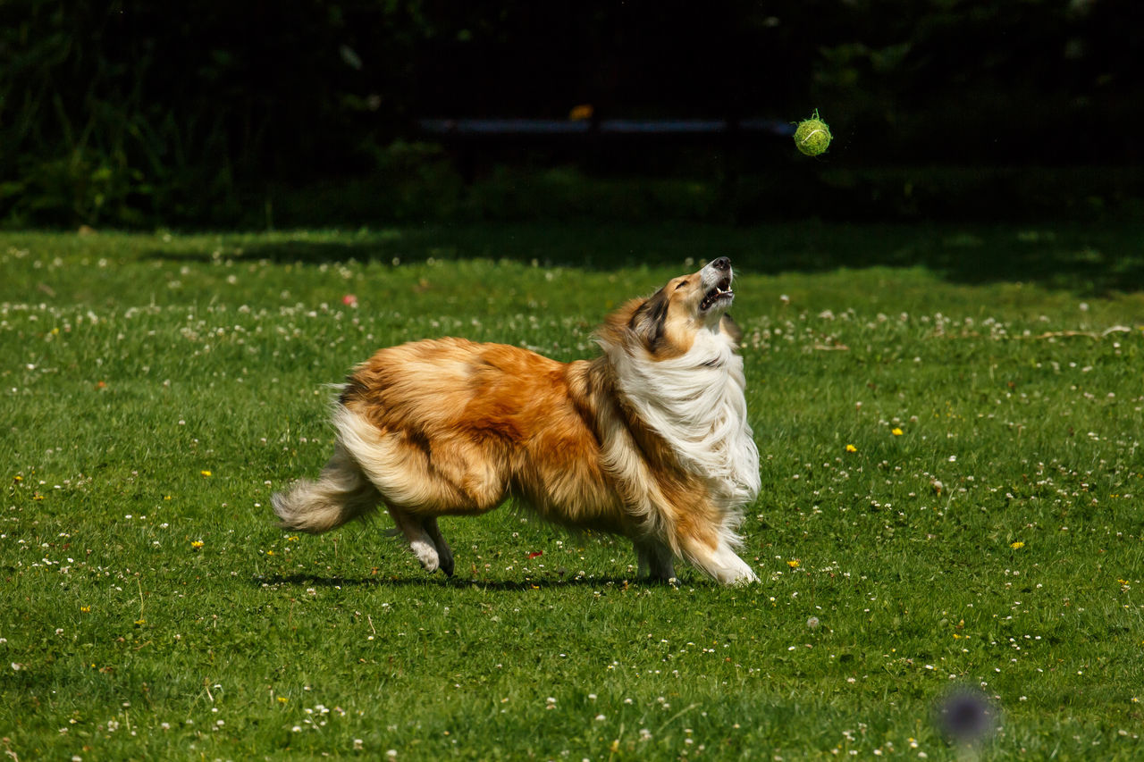 A Shetland collie playing fetch in the park. Its eyes are glued on the ball as it looks to pounce and grab it. The Shetland Sheepdog, also known as the Sheltie, is a breed of herding dog. The original name of this breed was Shetland Collie About To Pounce Animal Themes Collie Concentration Dog Dog And Ball Domestic Animals Eyes On The Ball Focus Mammal Motion No People One Animal Outdoors Pets Playing Fetch Running Sheepdog Shetland Collie Shetland Sheepdog Working Dog