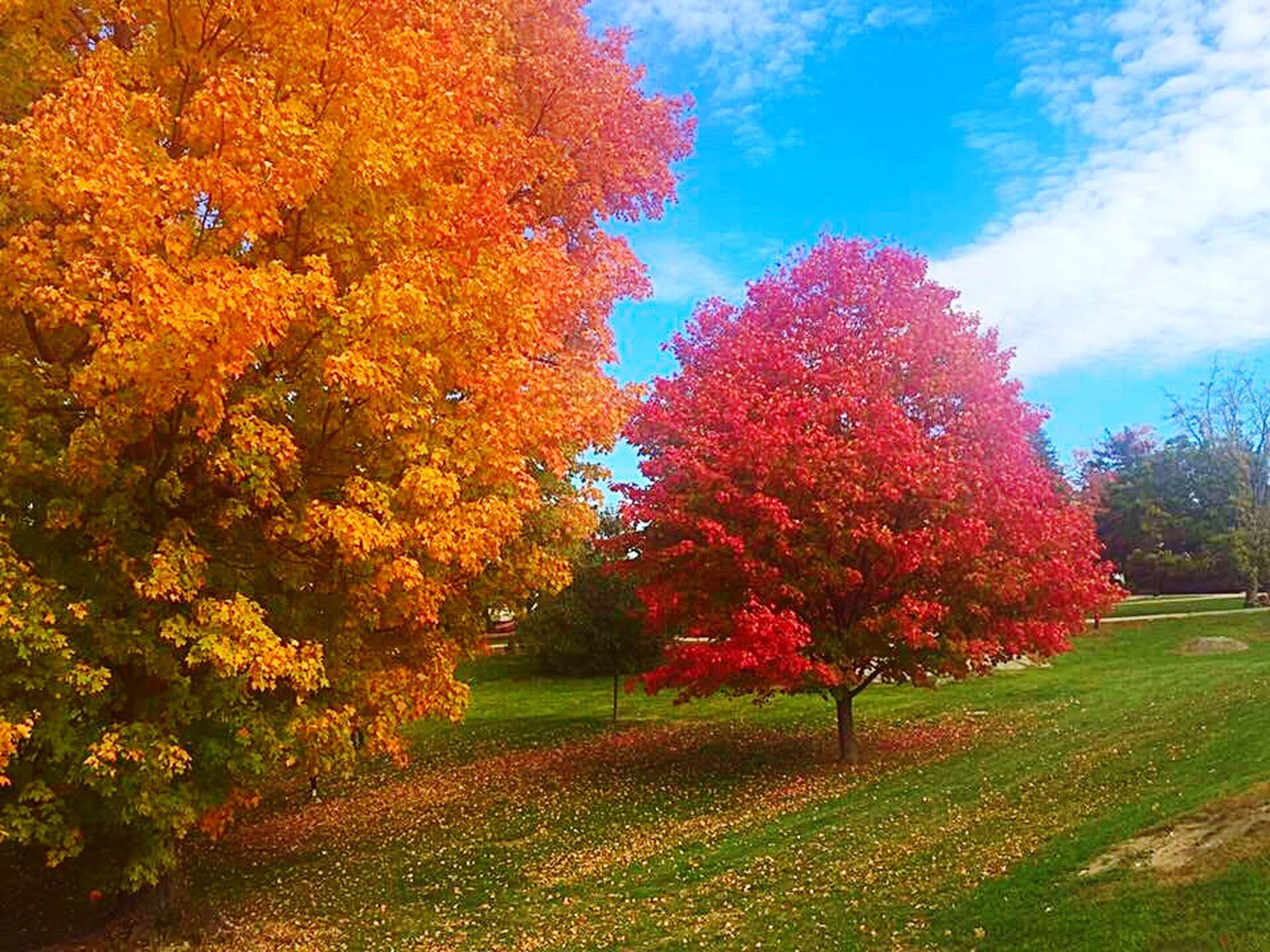 tree, autumn, change, growth, beauty in nature, season, grass, tranquility, tranquil scene, nature, field, scenics, park - man made space, day, multi colored, grassy, flower, plant, sky, blue, park, fragility, green color, vibrant color, outdoors, freshness, lawn, non-urban scene, growing, no people, springtime, colorful, grass area