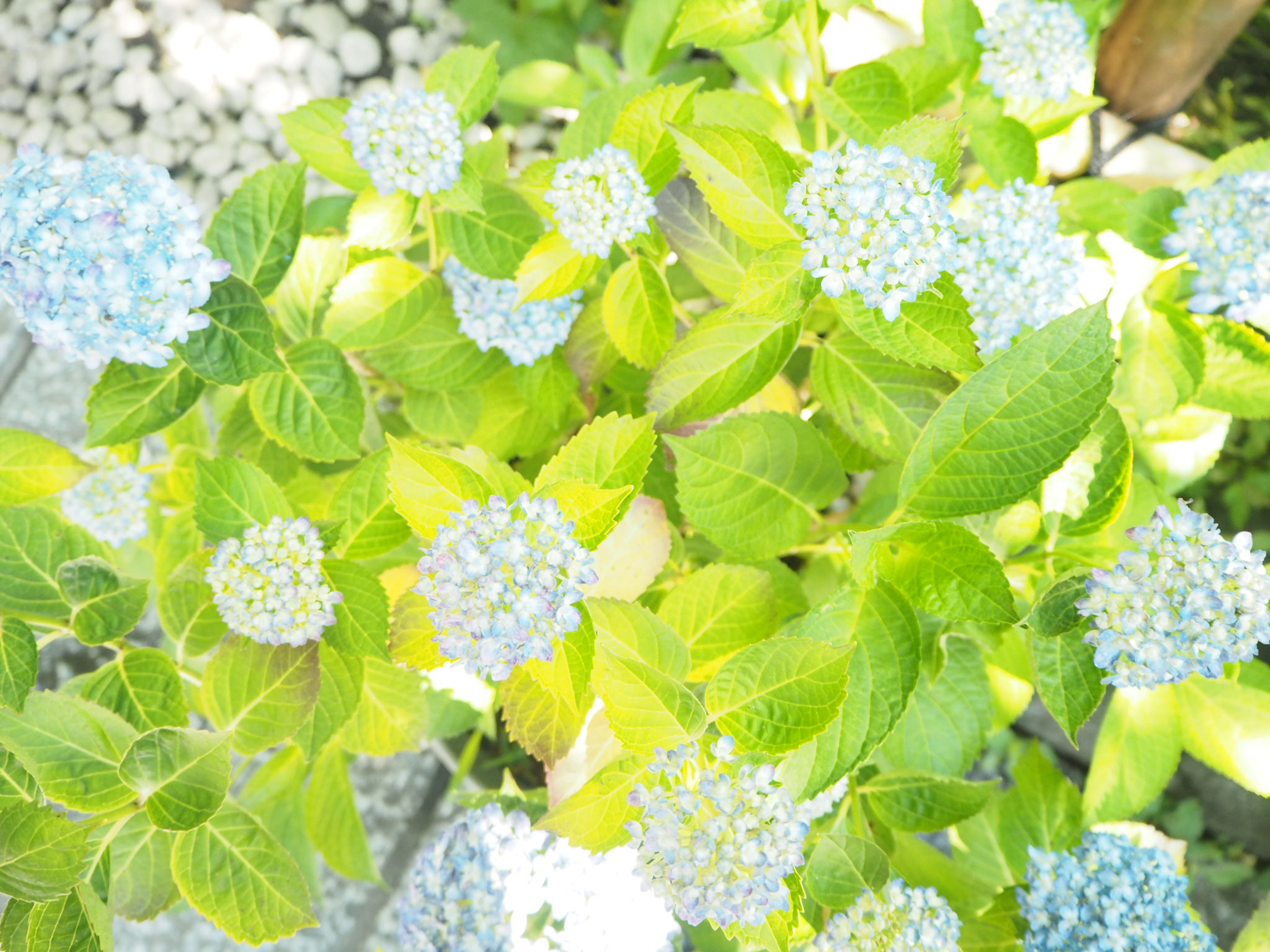flower, freshness, growth, fragility, plant, beauty in nature, leaf, petal, flower head, white color, nature, high angle view, green color, blooming, close-up, hydrangea, in bloom, botany, bunch of flowers, purple