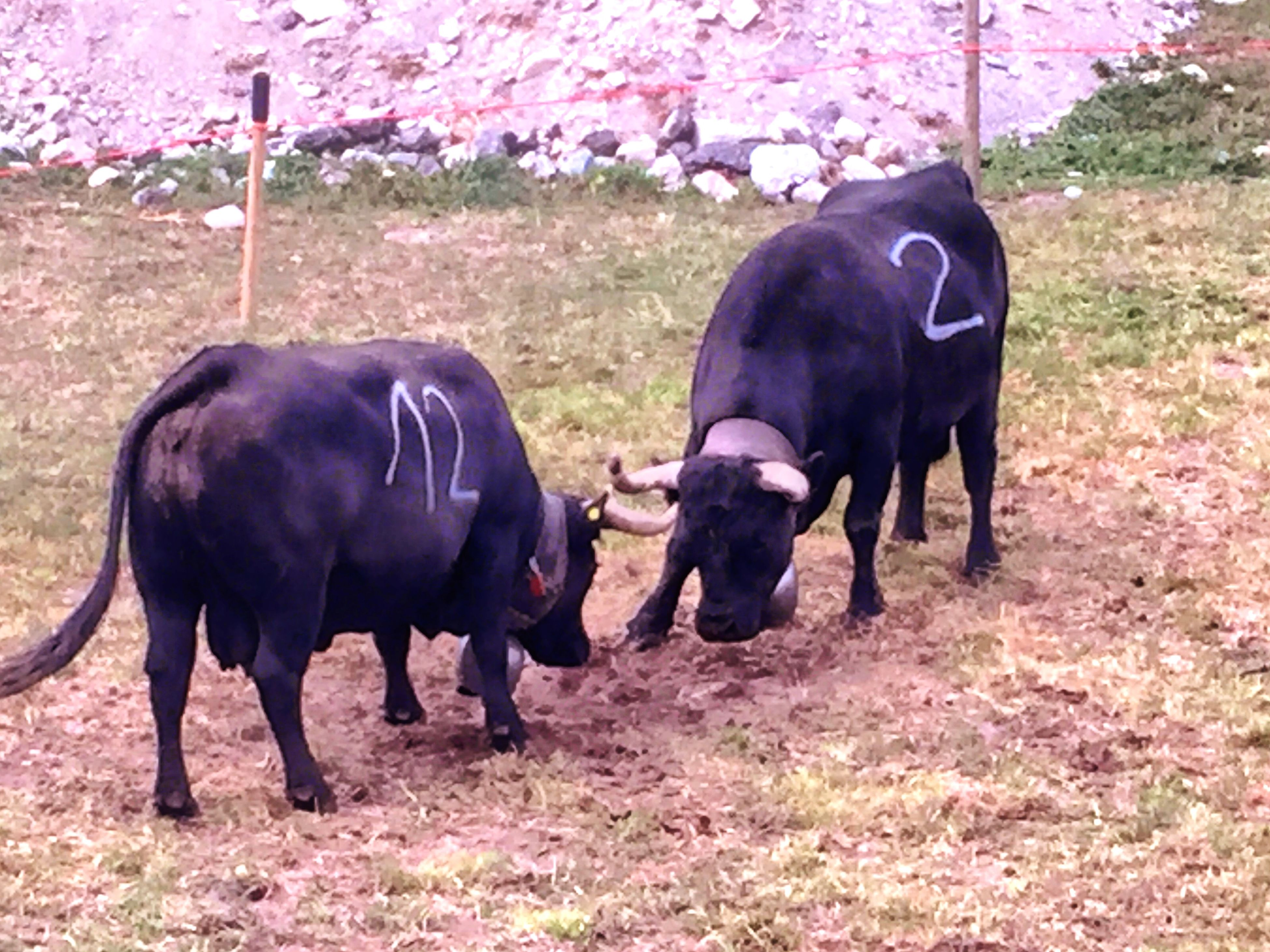 animal themes, domestic animals, livestock, field, mammal, standing, two animals, grass, horse, full length, cow, togetherness, black color, day, outdoors, nature, herbivorous, three animals, domestic cattle, working animal