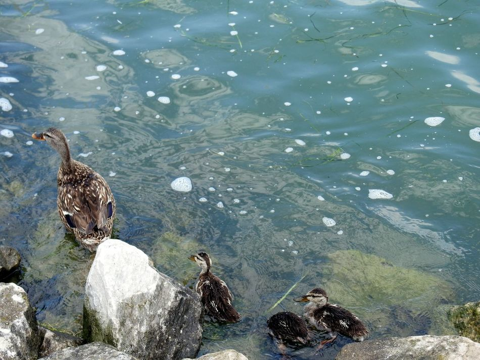 Ducks Ducks At The Lake DUCKS :) Ducks😄 Ducks In Water Ducks In A Row Ducks ❤ Ducks Swimming Ducks In The Water