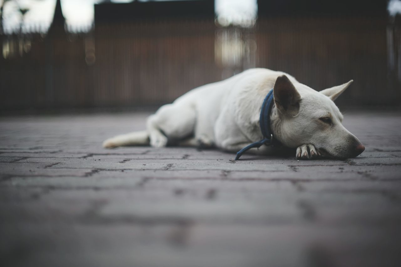One Animal Pets Domestic Animals Animal Themes Outdoors Sleeping Dog Dogslife Doglover Dog Of The Day