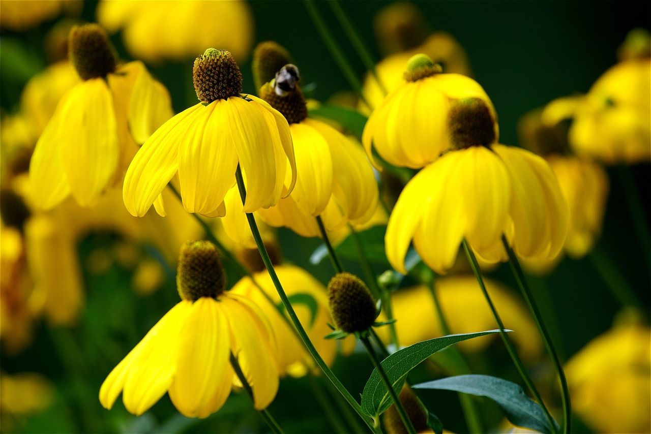 Flowers Flowers,Plants & Garden Sonnenhut Yellow Flower Yellow Flowers Garden Insect EyeEm Best Shots Tadaa Community Ladyphotographerofthemonth Open Edit Nature Color Palette