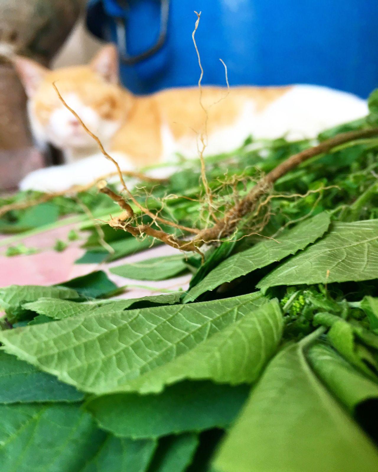ไมโลเมาหนักมาก 😂😂😂😂 #กัญชาแมว Leaf Green Color Plant Growth Nature Close-up No People Day Outdoors Beauty In Nature Freshness Food Catnip Catnipaddict