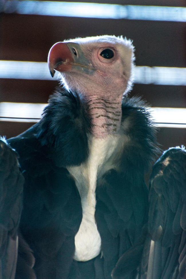 condor bird Animal Animal Body Part Animal Head  Animal Themes Bird Of Prey Close-up Con Day Focus On Foreground Mammal Nature No People Portrait