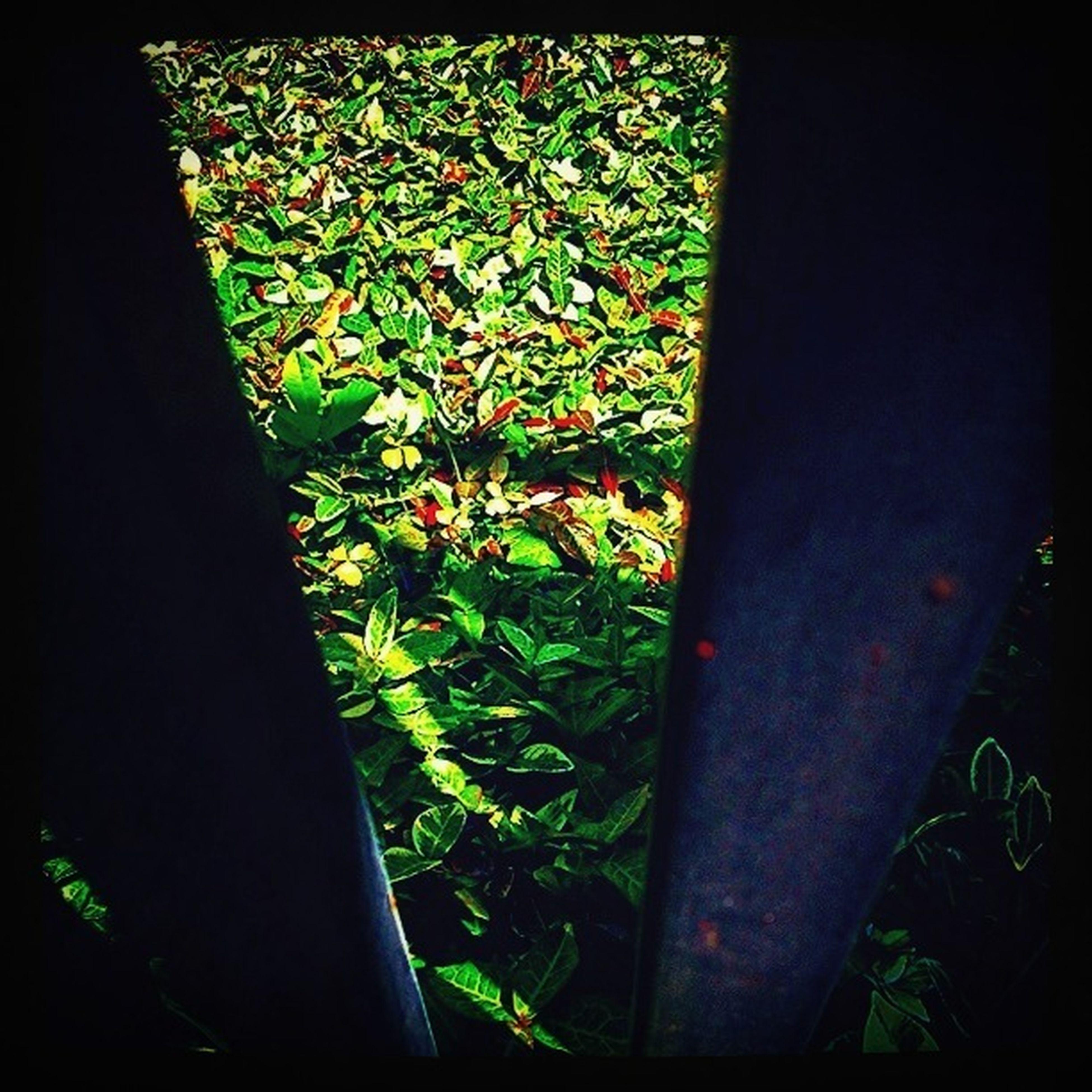 Ivy (Creeping Fig)