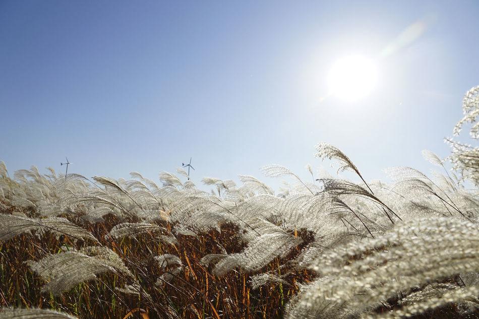 Korea Landscape Daily Silvergrass Sky Wind Skypark