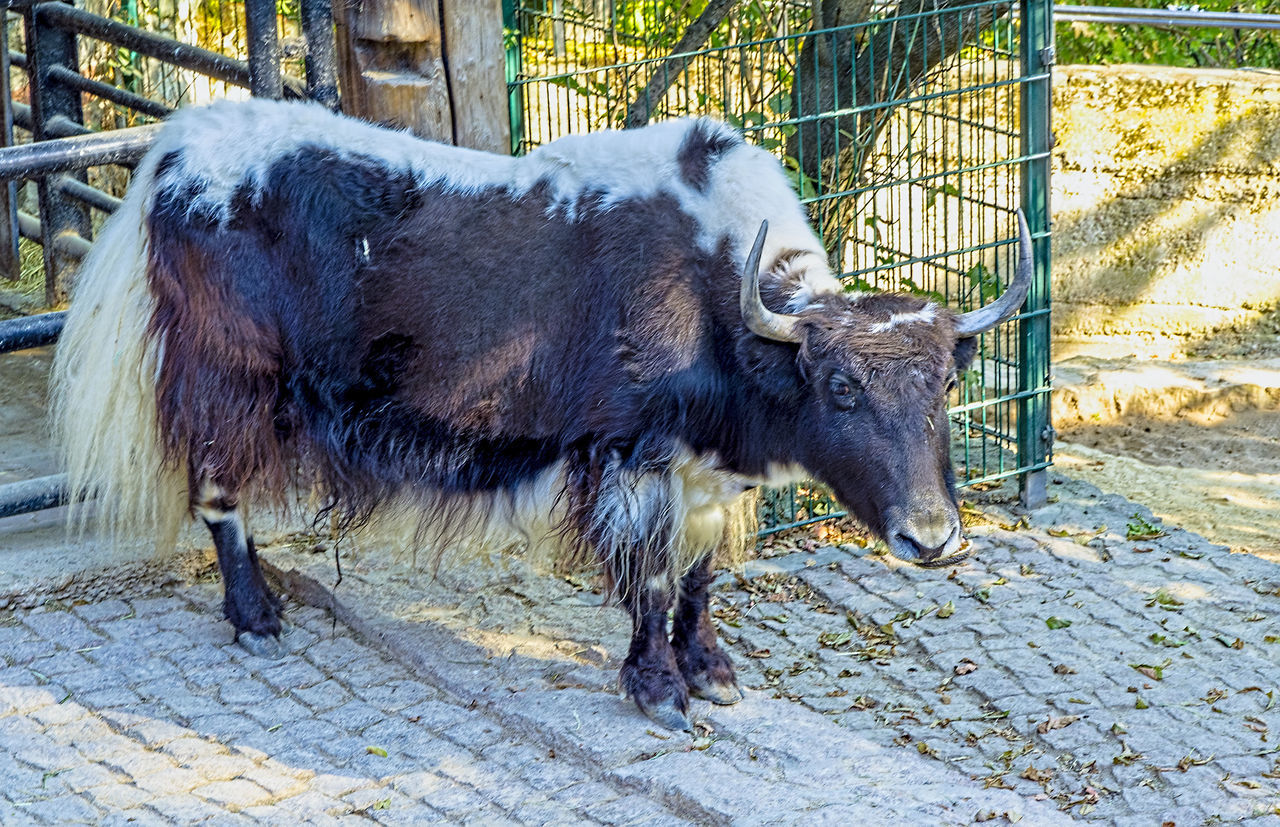 was guckst du... Animal Animal Hair Animal Themes Animals In Captivity Beef Day Domestic Animals HD Livestock Mammal One Animal Outdoors Rind Standing Vertebrate Zoo Zoology