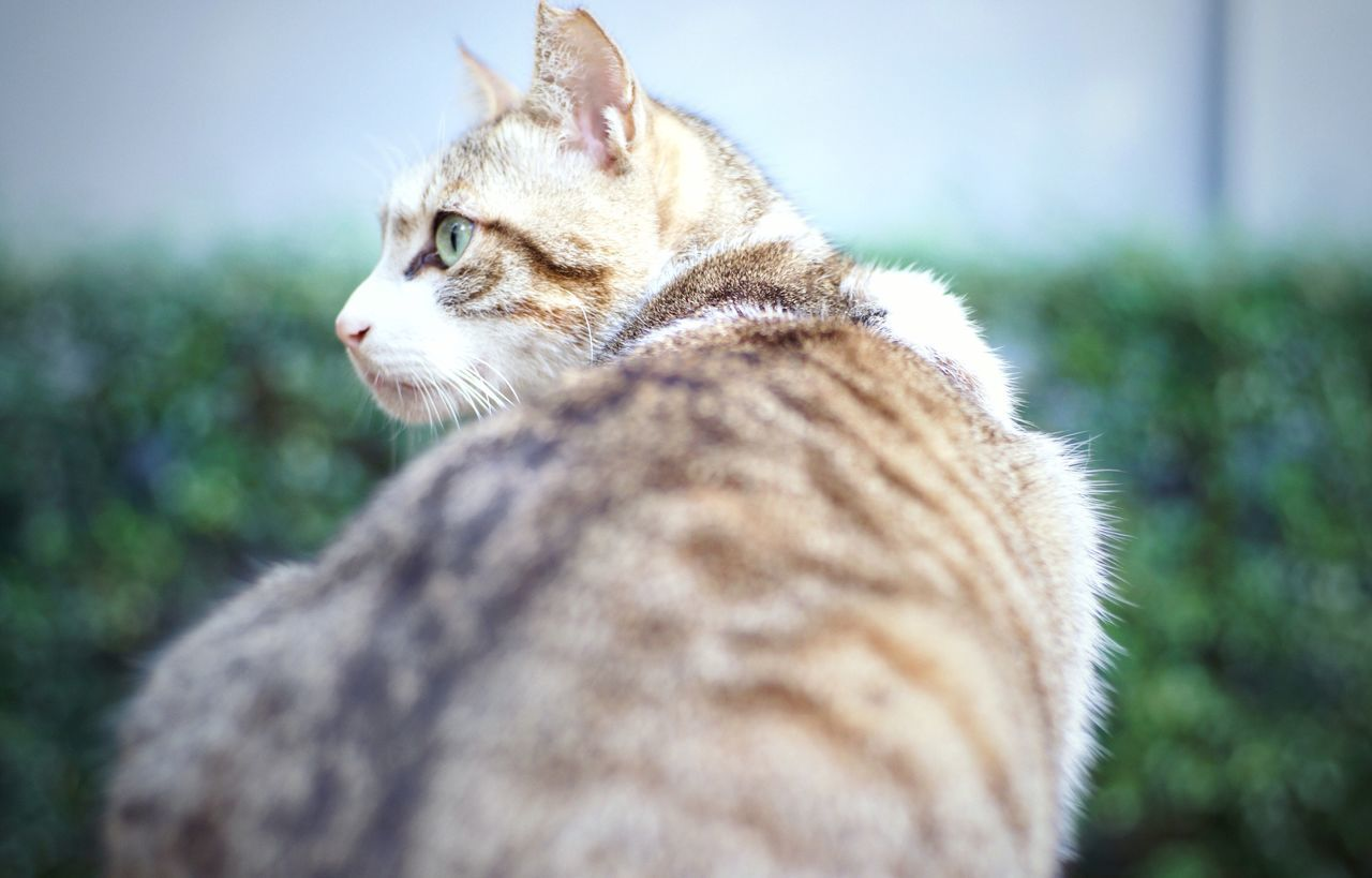 one animal, animal themes, domestic cat, mammal, pets, domestic animals, feline, no people, day, close-up, outdoors, nature