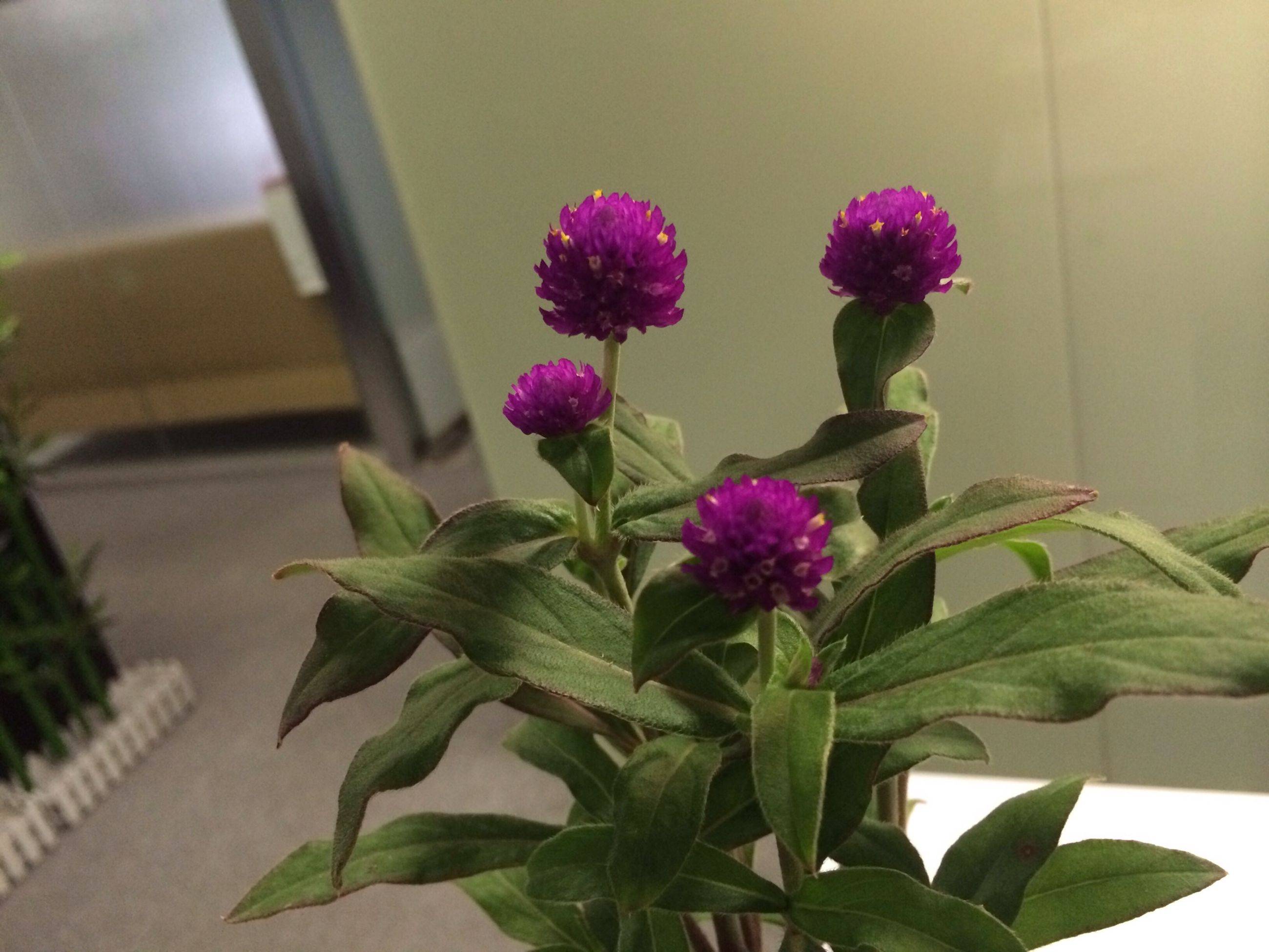 flower, leaf, freshness, growth, fragility, petal, plant, pink color, beauty in nature, nature, flower head, close-up, green color, stem, purple, potted plant, indoors, blooming, focus on foreground, in bloom