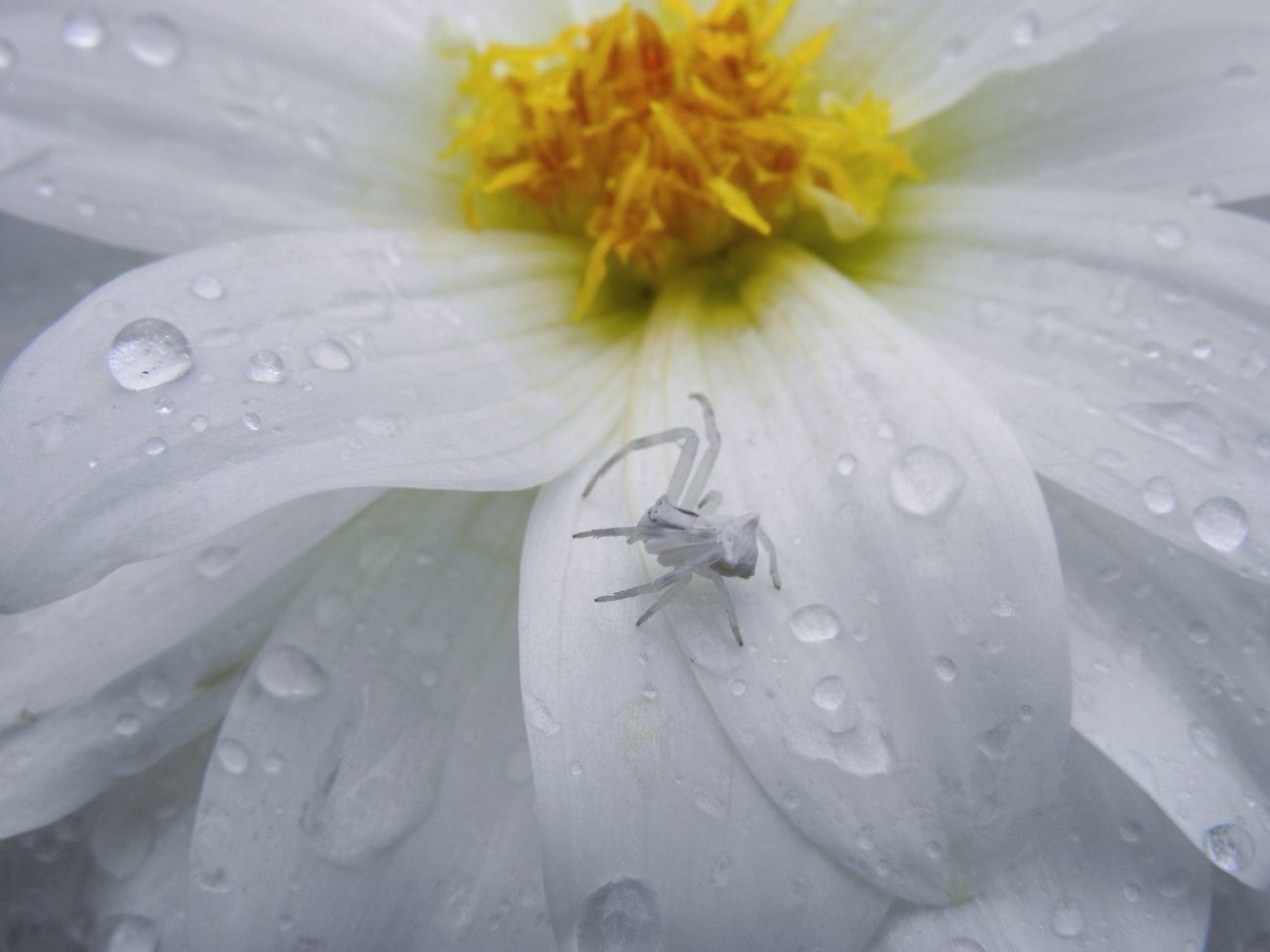Crab Spider Macro Spider Mimetism Total White White Day Purity Plant Close-up Outdoors No People Backgrounds Drop Flower Head Wet Petal Water Freshness Nature Beauty In Nature Flower White Background Dew