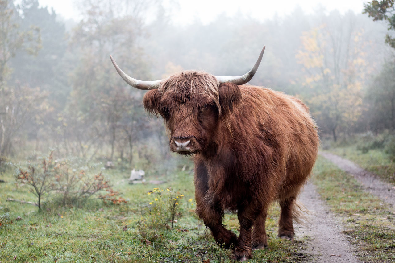 Scottish Highlander running trough the fog! American Bison Horned One Animal Animal Wildlife Highland Cattle Nature Grass Foggy Foggy Morning Scottish Highlander Animals In The Wild Portrait Cattle No People Dangerous Animals Danger Wanderfolk Early Morning Pathway Rural Scene Green Nature Outdoors Netherlands Foggymorning EyeEmNewHere The Great Outdoors - 2017 EyeEm Awards