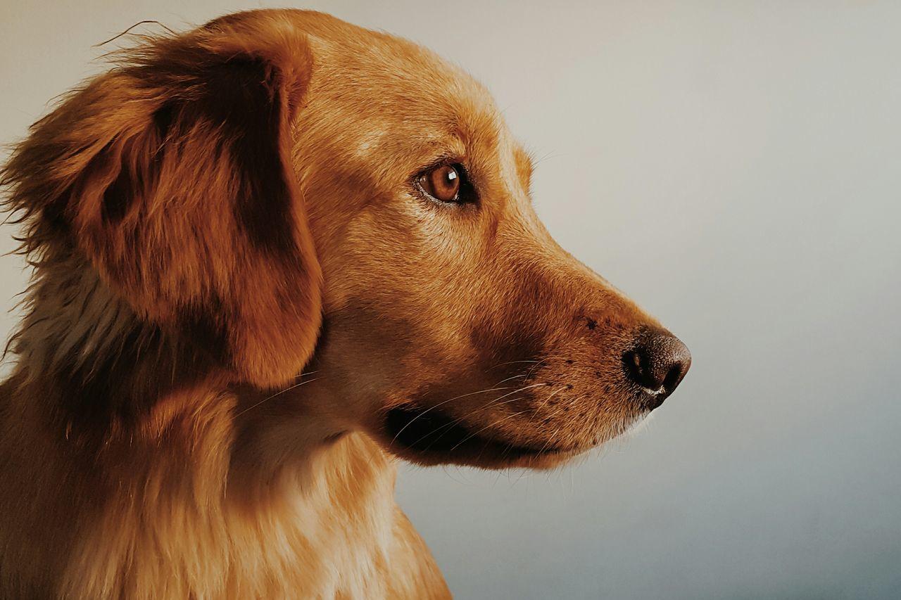 My dog love I Love My Dogs Dogs Of EyeEm Golden Retriever Dog Love Dogs Portrait Animal Portrait Colour Portrait
