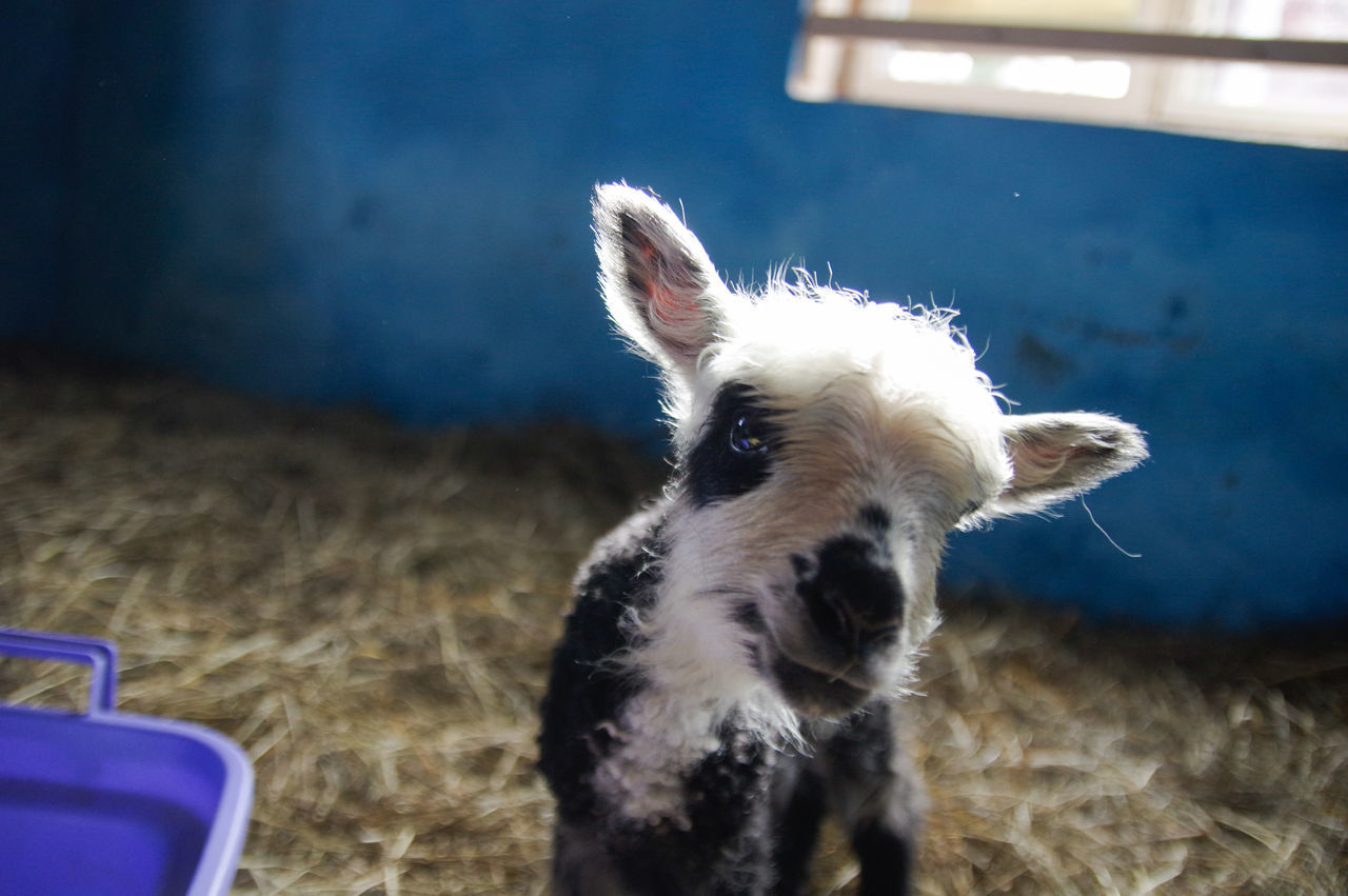 1 Day Old Animal Themes Close-up Day Domestic Animals Indoors  Lamb Livestock Mammal No People One Animal One Day Old Pets