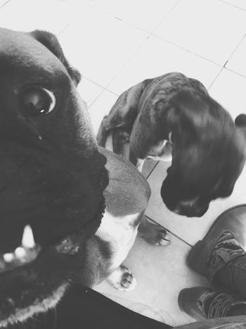 Boxer Boxer Dogs Dogs Chien Babine Love