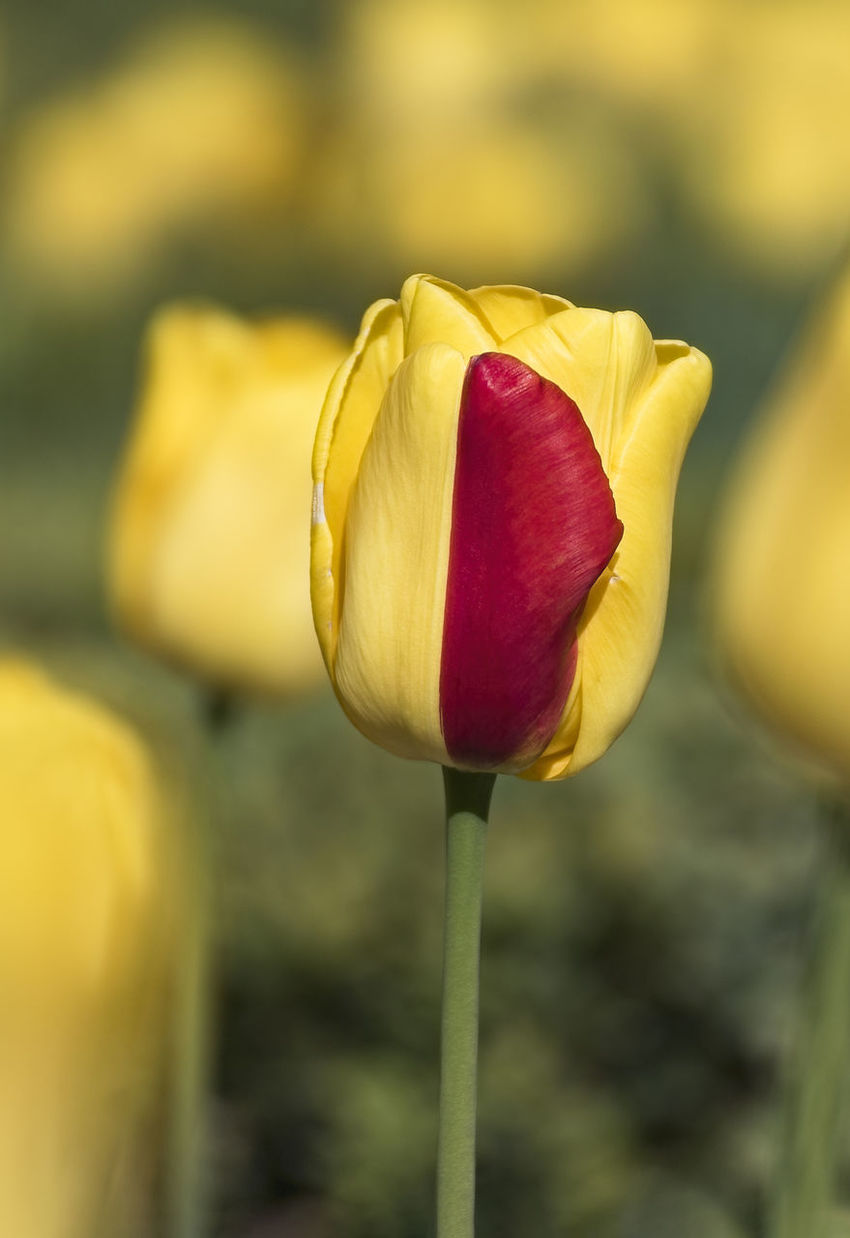 Yellow-Red Tulip Beauty In Nature Blooming Close-up Day Flower Flower Head Focus On Foreground Fragility Freshness Growth Nature No People Outdoors Petal Plant Red Tulip Yellow Yellow-red