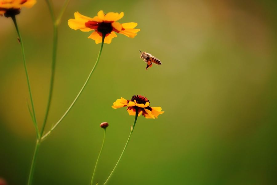 Flower Petal Growth Fragility Freshness Nature Beauty In Nature Flower Head Insect Blooming Plant No People Animals In The Wild Animal Themes Yellow Outdoors Zinnia  Day Close-up