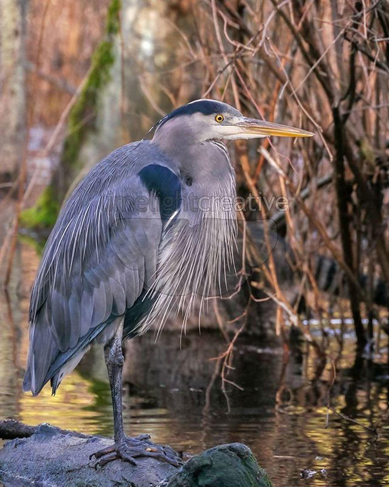 Blue Heron Bcwildlife BCFWildlife Bird Blue Marsh Heron Blueheron Limelightcreative