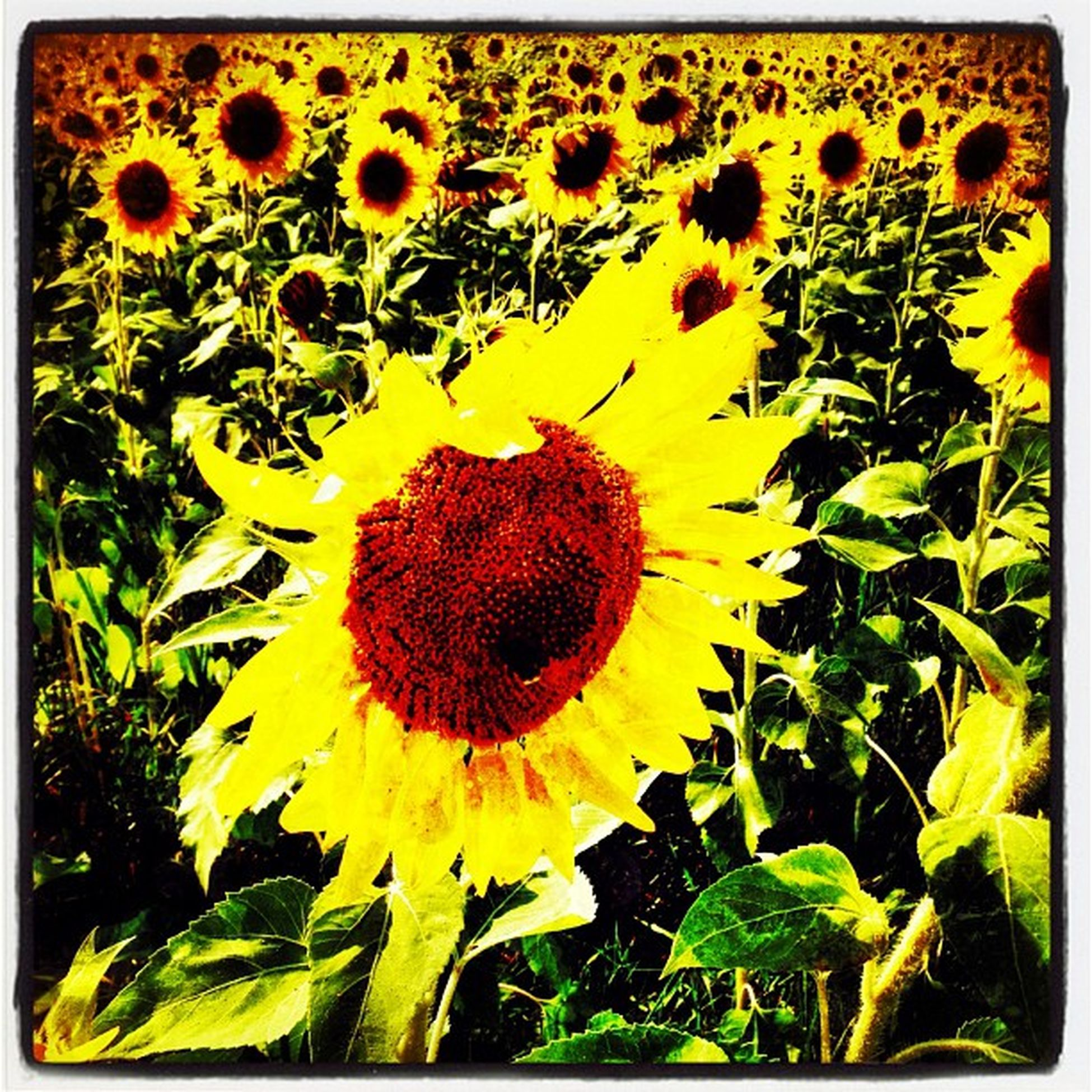 Field of Sun Flowers. #GrandIsle #vt Gmy Iphonegraphy Flowers Vt Field Vt_scenery Pretty Vermont_scenery Farm 802 Iphoneonly Igharjit Photooftheday Vermontbyvermonters Picoftheday Vt_scene Vermont Vermont_scene Sunflowers Igvermont Instamood Igvt Instagood Grandisle Instagramhub Instagramjit Webstagram EyeCandy