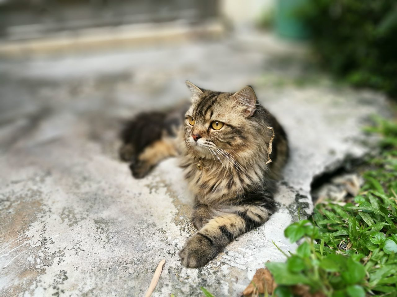Domestic Cat Pets Looking At Camera Domestic Animals Feline Portrait Animal One Animal Mammal Tabby Cat No People Outdoors Day Leopard Cat Brown Sit Persian Cat