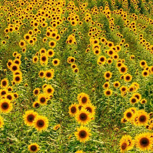 ひまわり畑 ひまわり Sunflowers🌻 Sunflowers Sunflowers Field 夏真っ盛り 夏 Summer2016 Summer