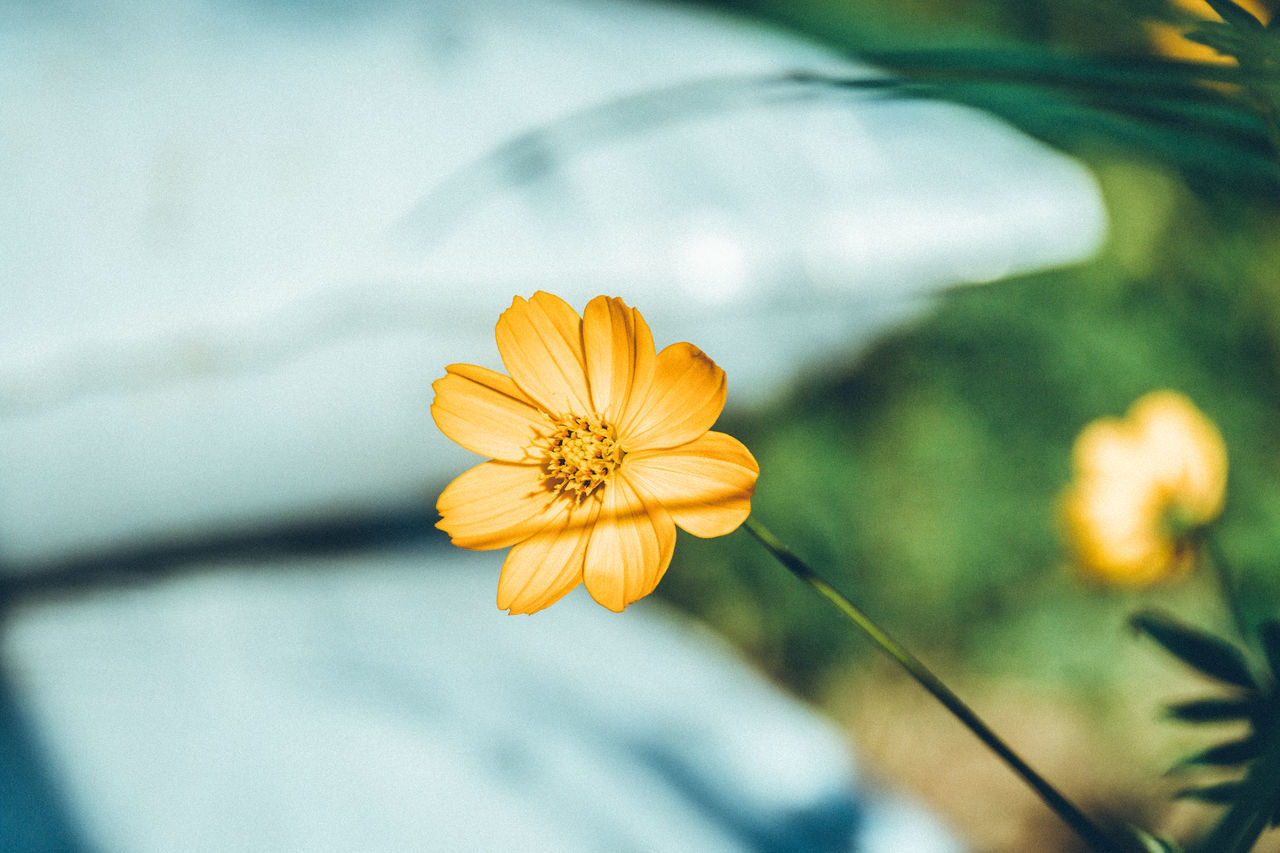 Muted Colors Beautiful Nature Relaxing Naturelovers Beauty In Nature Blooming Classic EyeEm Best Shots EyeEm Gallery EyeEm Nature Lover Fine Art Flower Flower Head Fragility Freshness Getting Inspired Nature Outdoors Pastel Plant Taking Photos Yellow Lovely Pretty Minimalism