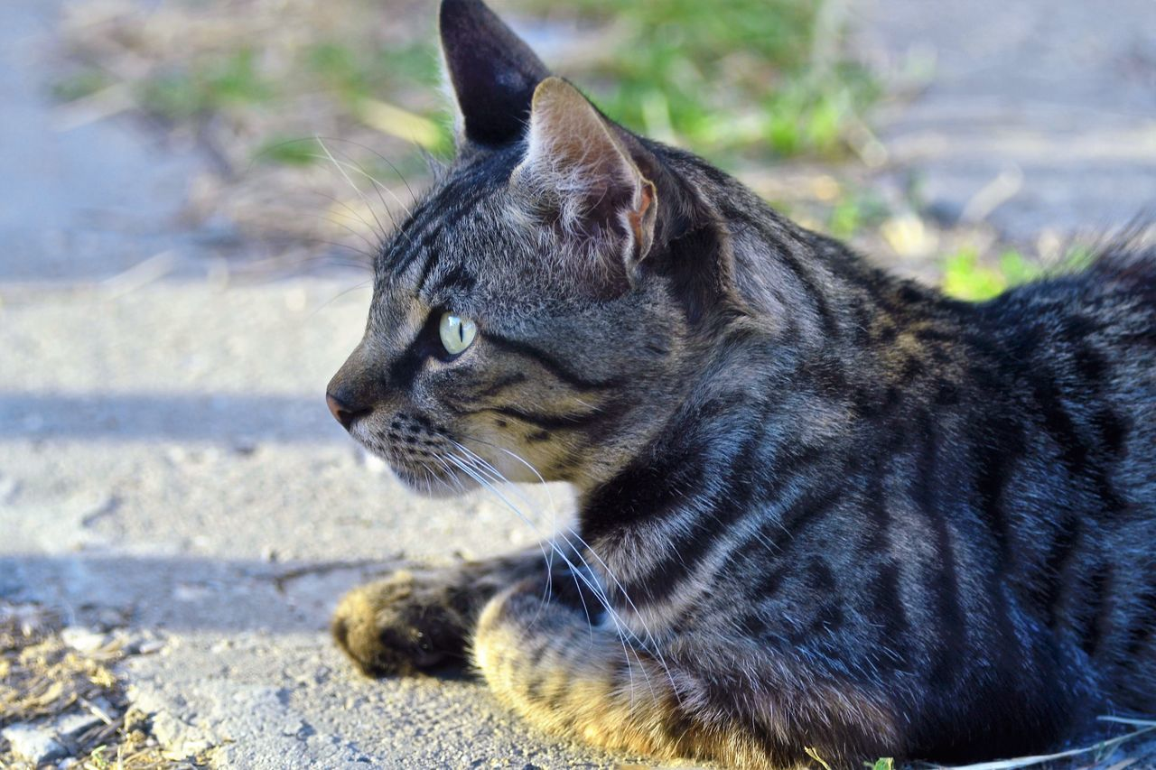 one animal, animal themes, pets, domestic animals, domestic cat, mammal, outdoors, day, feline, no people, close-up