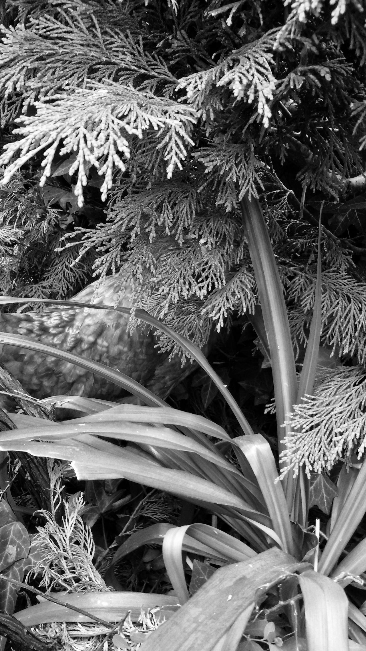 Chicken camouflage :) Vegetation Vegetation Textures Chicken Garden Plants Animal Disguise Camouflage Monochrome Monochromatic Bllack And White Photography
