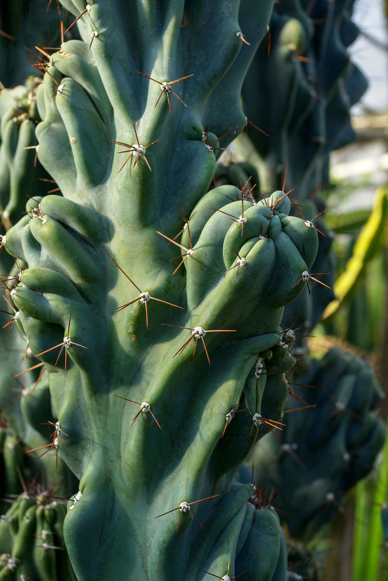Gewächshaus Cactus Close-up Day Focus On Foreground Food Food And Drink Freshness Green Color Growth Healthy Eating Nature No People Outdoors Plant Säulenkaktus