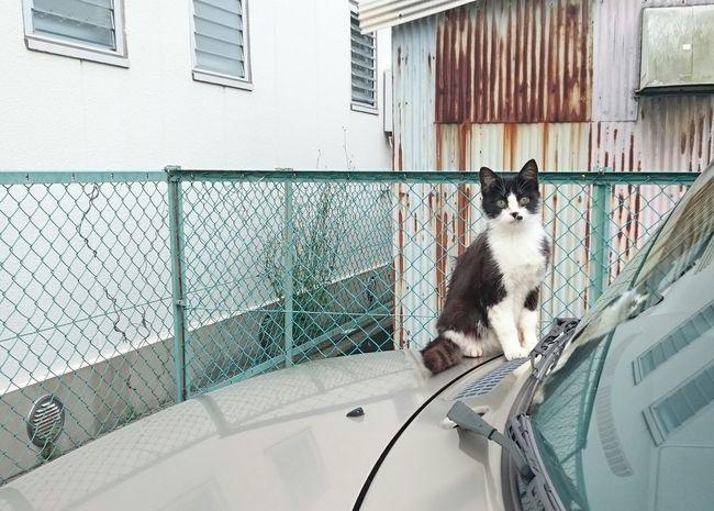 スマホカメラ スマホ撮り 野良猫 ハチワレ猫 Stray Cat