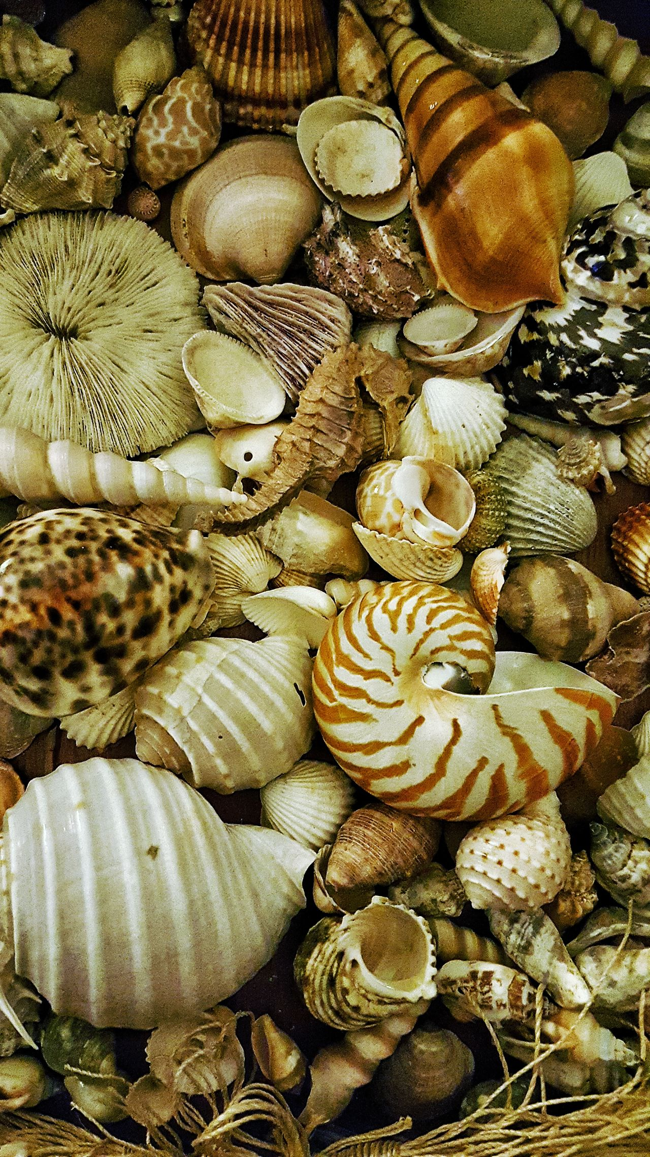 Caracolas Caracolas De Mar Conch Shells Shells🐚 Shell Beach Shells On Wood Caracola Caracolas Sea Sea Shells Sea Shells 🐚 Ocean Ocean Shells Sea_collection Sea Life Sea Ocean Oceano Oceanographic Oceanography Oceanografico Ocean❤ Mar Caracolas Caracolas De Mar
