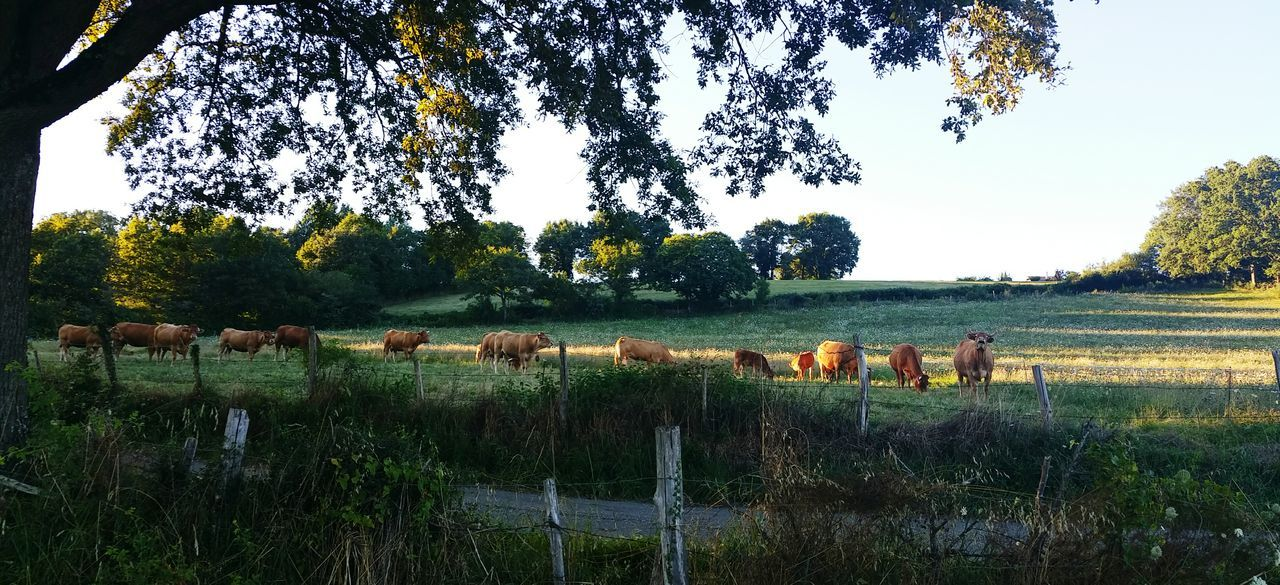 tree, field, grass, landscape, animal themes, domestic animals, mammal, nature, cow, livestock, no people, outdoors, grazing, tranquility, day, growth, rural scene, sky, beauty in nature