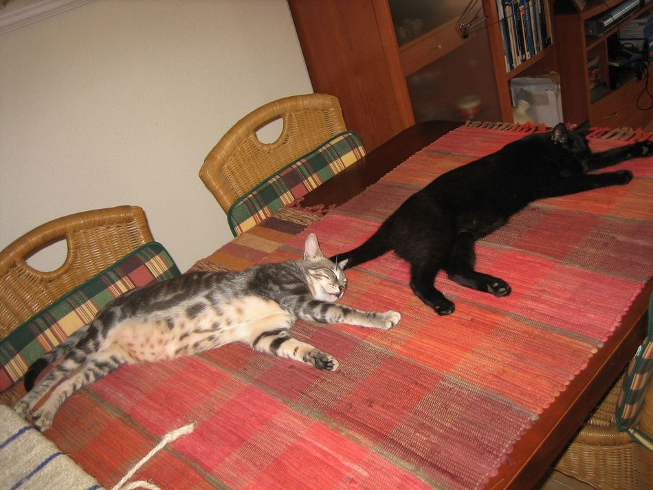 """House rule N1: NO CATS ON THE TABLE! Looks like """"NO"""" part nobody heard. Black Cat Cat Cat Lovers Cats Of EyeEm Cats On The Table Comfortable Domestic Animals Domestic Cat Feline Gray Cat Home Lying Down Pets Relaxation Resting Sleeping Cats Whisker FUNNY ANIMALS"""