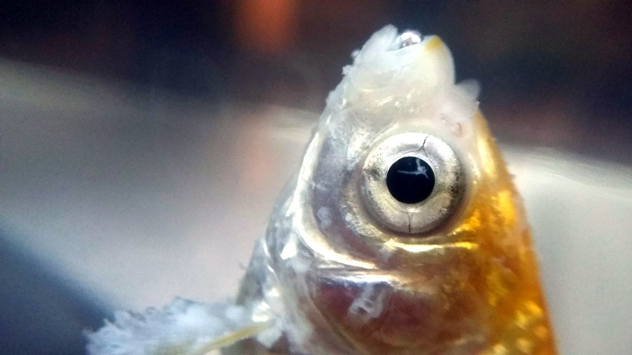 Close-up Animal Head  No People Nature Animal Eye Zoology Macro Macro Photography Yellow Macro Nature Selective Focus Fish Goldfish Dead Fısh Weird Odd