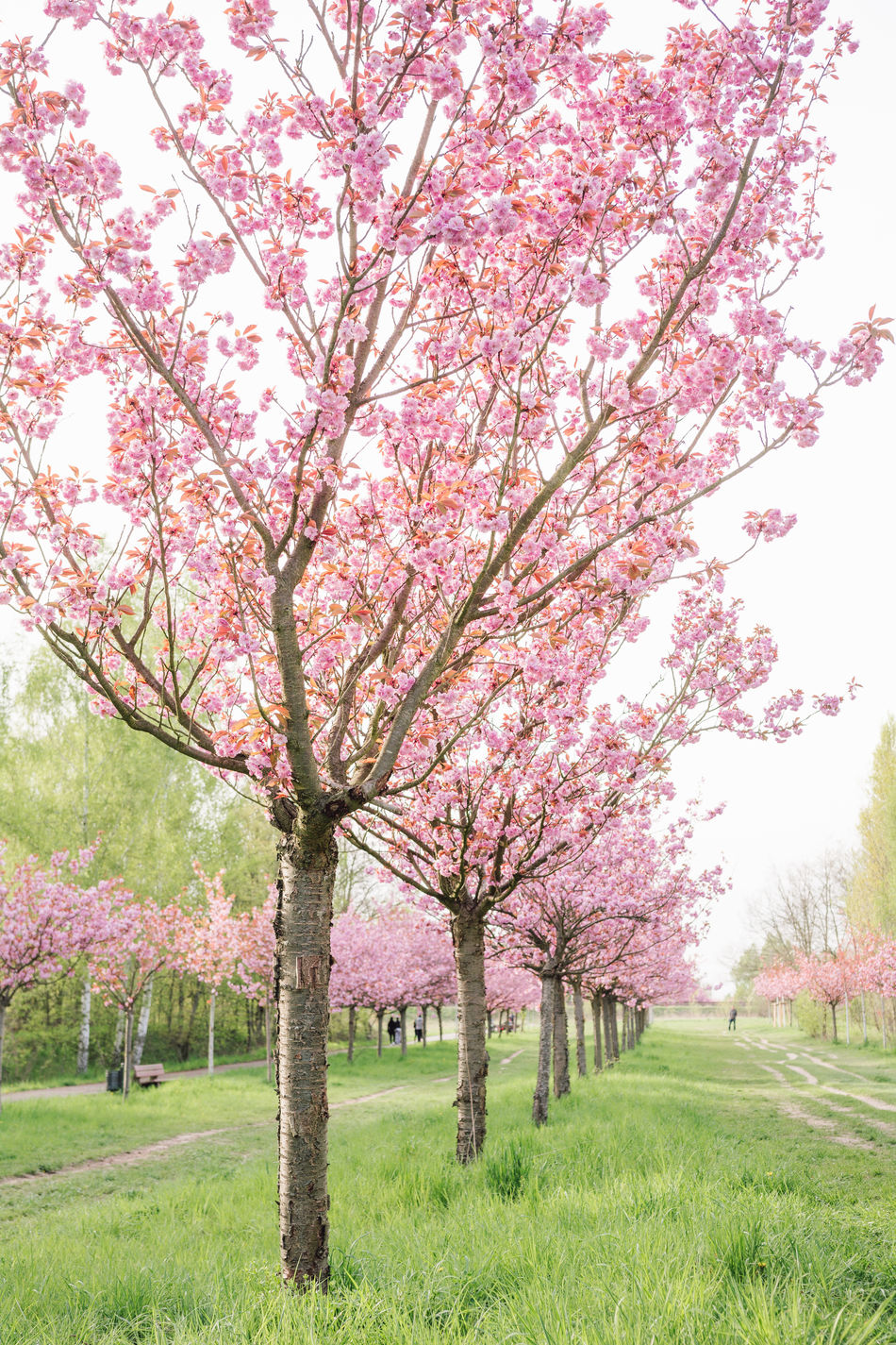 japanese cherry blossoms Beauty In Nature Berlin Blossom Branch Cherry Tree Day Field Flower Fragility Freshness Grass Grassland Growth Nature No People Orchard Outdoors Pink Color Scenics Spring 2017 Spring Into Spring Springtime Tranquil Scene Tranquility Tree