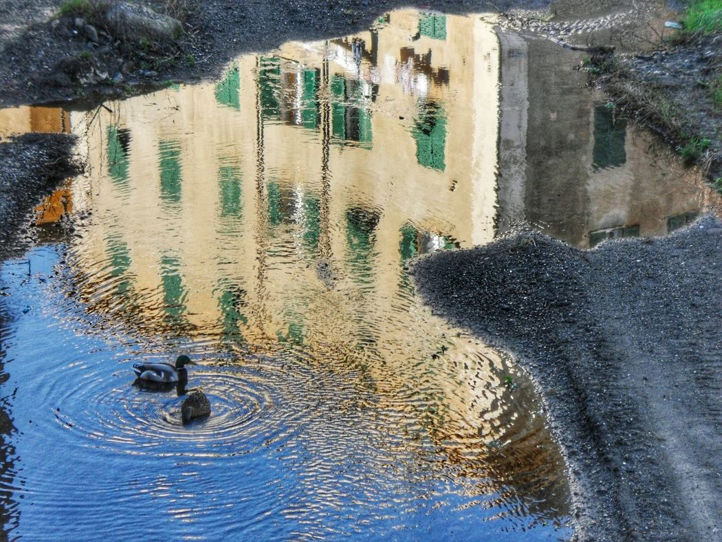 """Coppia di germani reali nel torrente"". Urban Creek Palazzi Houses Torrente S. Pietro Ducks Germani Water Reflections Water Riflessi Sull'acqua Sunny Winter Day Point And Shoot camera Hdr Edit Eyeemfilter F3 lev 5 / Showcase February Showcase: February"