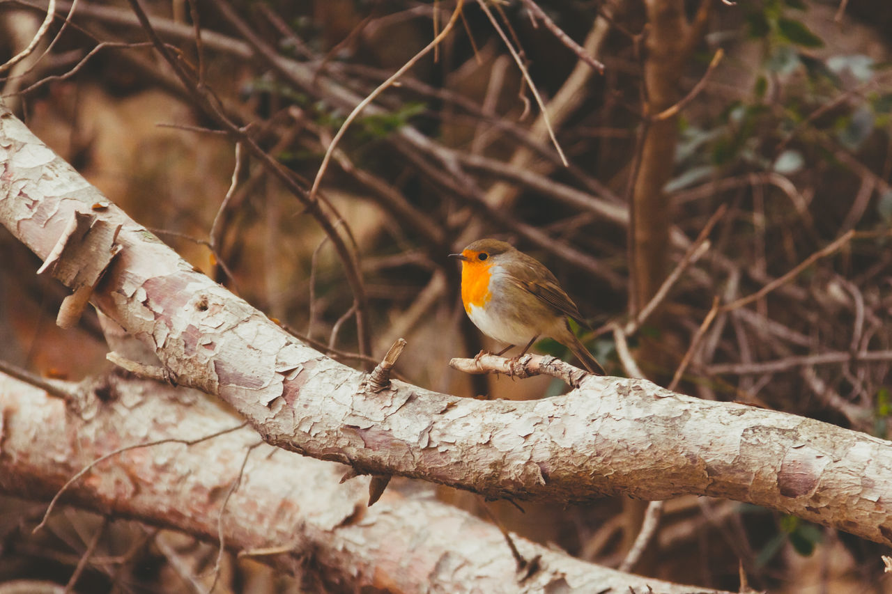 sweet robin Animal Themes Animals In The Wild Awesome Spain Trip Bird Branch Cala De Deyá Close-up Day Film Look Focus On Foreground Little Bird Mallorca No People One Animal Perching Retro Robin SPAIN Spring Spring In Spain Springtime Twig Vintage Wildlife