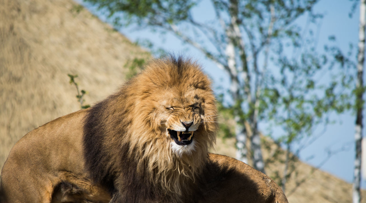 Lion Adult Africa Animal Themes Animal Wildlife Animals In The Wild Backgrounds Beauval BIG Cat Day Face Isolated King Lion Lion Lion - Feline Lioness Looking Male Mammal Nature No People One Animal Outdoors Wildlife