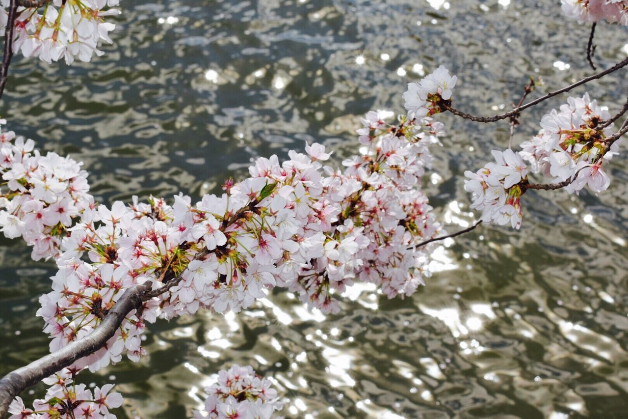 A River of Cherry Blossoms 2017 First Eyeem Photo