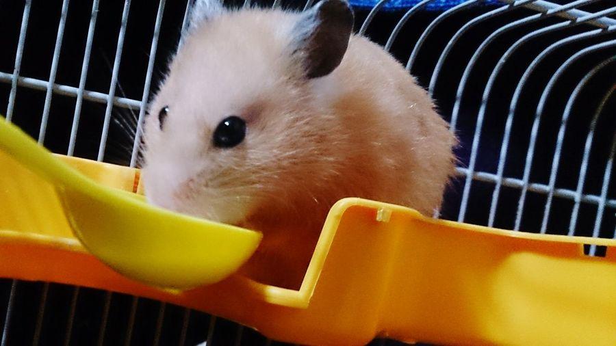 Hamster ♡♡ Cute Pets Hamster Love First Eyeem Photo Big Eyes