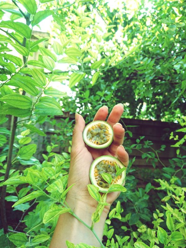 Holding Human Hand Human Body Part Green Color Healthy Eating Leaf Freshness Food Fruit Nature Growth Sustainable Resources Day Close-up Outdoors Beauty In Nature Focused Showing Imperfection Passion Flower Passionfruit Passiflora Passionfruits Delicious Innature Fresh Wine Moments EyeEmNewHere Adapted To The City Art Is Everywhere
