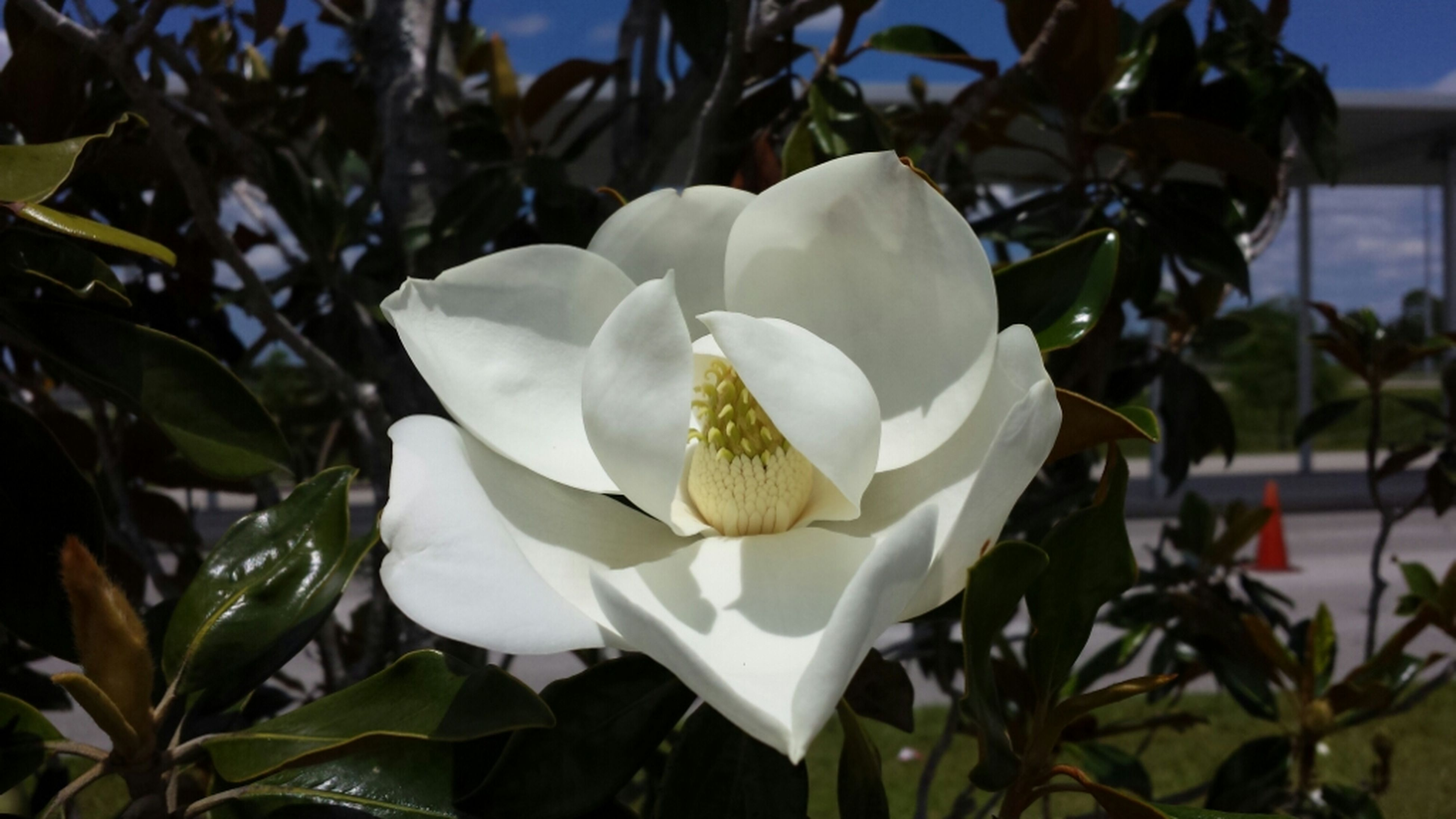 flower, petal, flower head, freshness, fragility, white color, growth, focus on foreground, close-up, blooming, beauty in nature, single flower, plant, leaf, nature, in bloom, rose - flower, white, day, sunlight
