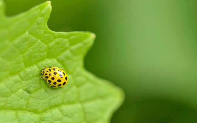 Ladybug Ladybug Ladybird Ladybugs Ladybirds 🐞 Yellow Ladybugs Yellow And Black Green Leaves Green Leaf Bug Life Bug On A Flower Bug On Leaf Insect Photography Macro_collection Macro Photography Macro Nature Nature Nature_collection Nature Photography Naturelovers Nature On Your Doorstep The Week On EyeEm Showcase June