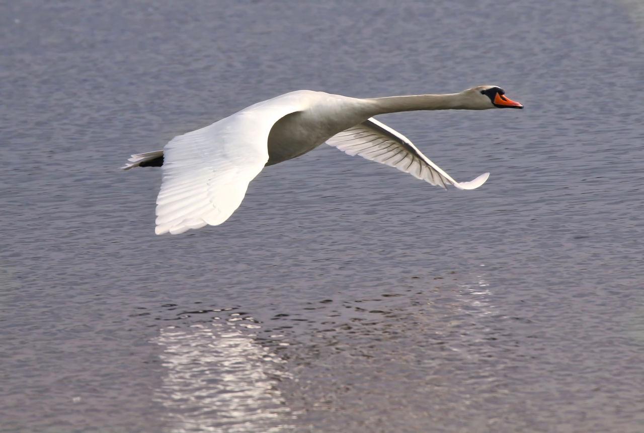Swan Swimming Over Lake