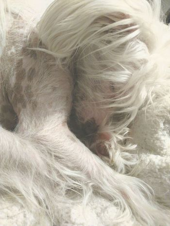 The White Album White Album I Love My Dog Zoey Peace And Tranquility From My Point Of View Things I Love Chinese Crested Dog Chinese Crested White Sleepy Dog Sleepy Head My Baby