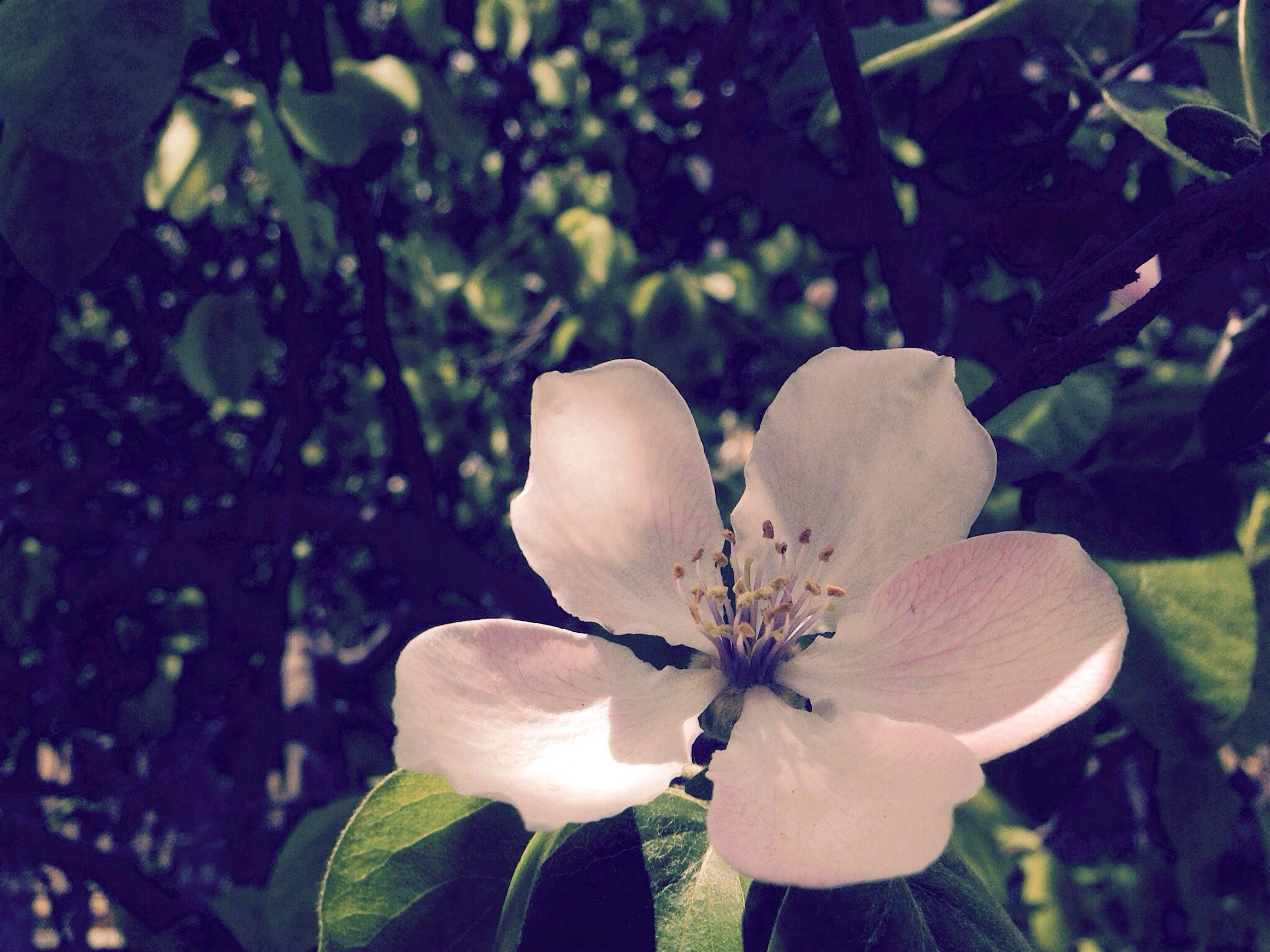flower, petal, fragility, growth, freshness, flower head, close-up, focus on foreground, beauty in nature, nature, plant, blooming, white color, leaf, in bloom, stamen, single flower, day, outdoors, blossom